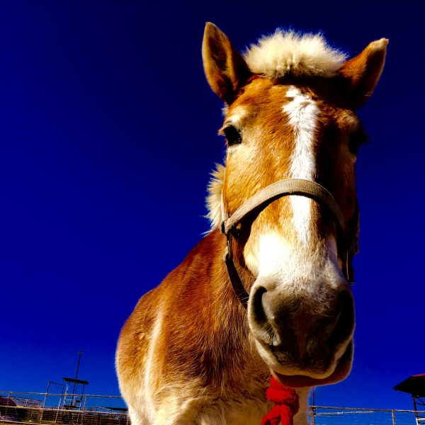 Sandy colored Hafflinger horse for sale silhouetted by dark blue, cloudless sky pictured in his birthday suit with a halter on