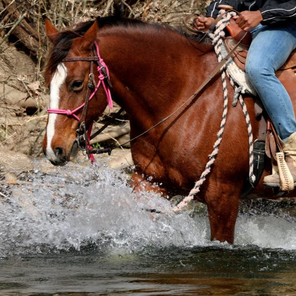 Big bay draft cross takes trail riders into the water for an epic trail riding adventure in San Marcos Texas at our family dude ranch