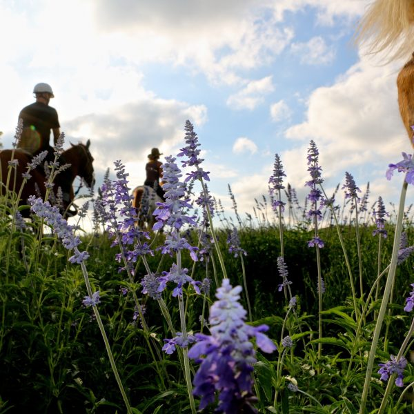 Horseback vacationers will love our beautiful scenery in Texas, such as these gorgeous purple wildflowers in bloom this spring