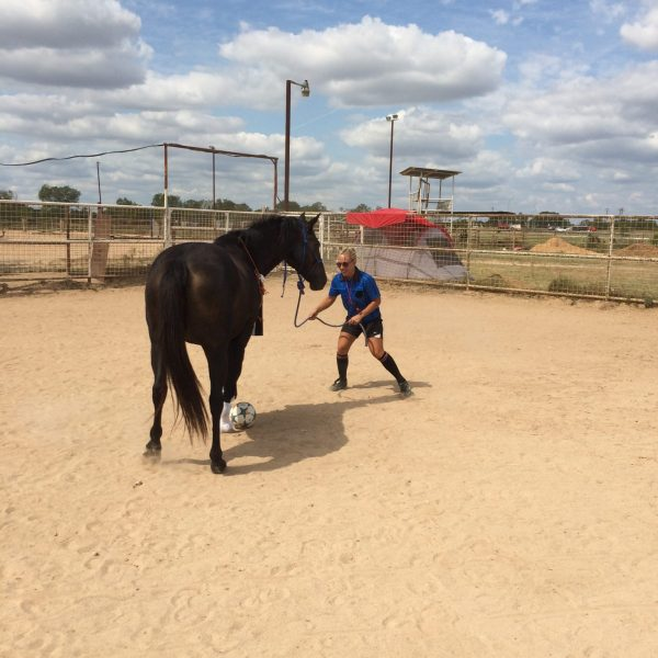 Silly referee dressed in blue jersey plays soccer against black mare in arena of Austin Horse Stables