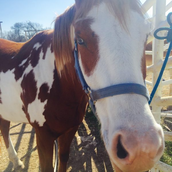 sorrel and white paint mare with blue eyes in a close up shot from horse photographer of Austin Texas
