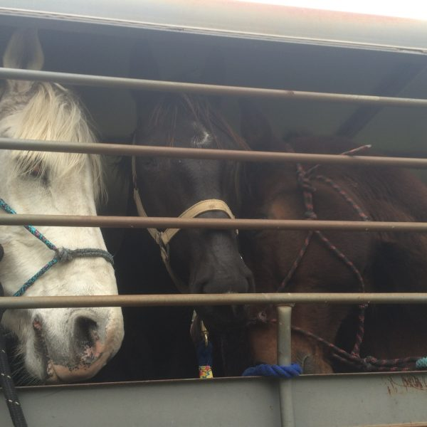"Grey gelding Maverick on the left followed by Black mare with white star, named ""Black"" and finally bay gelding hacney horse cross cat, all on a grey stock trailer"