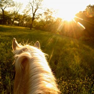 Palomino gelding shining golden at sunset with equine horse photographer mounted to take a photo of her life between the ears