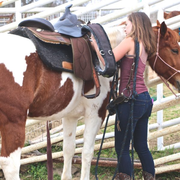 Trail guide and wrangler prepares brown and white paint gelding for trail, pictured in front of pipe fence at Hutto Texas facility, tacked in Western gear