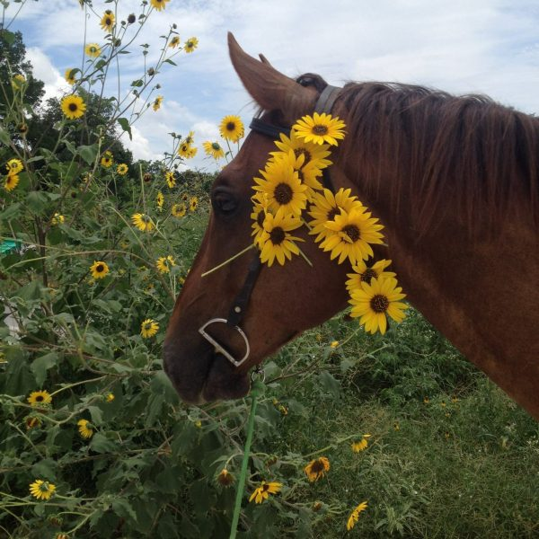 Rocky, our chestnut quarter horse gelding poses with some sunflowers woven into his bridle during one of our Round-Rock based trails, called The Buffalo Ride
