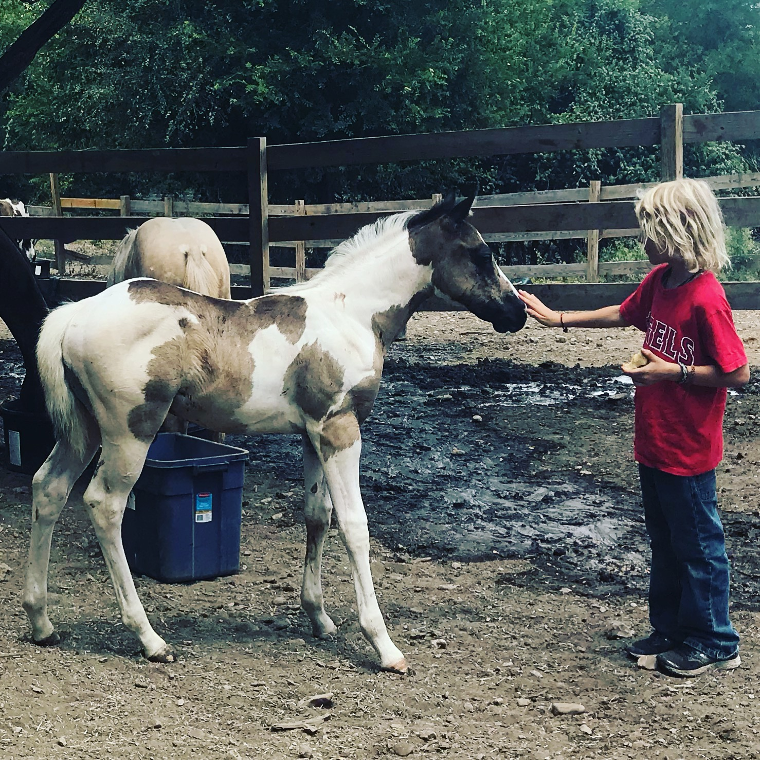 youth equestrian handles 2018 APHA foal for sale at dude ranch in Austin Texas