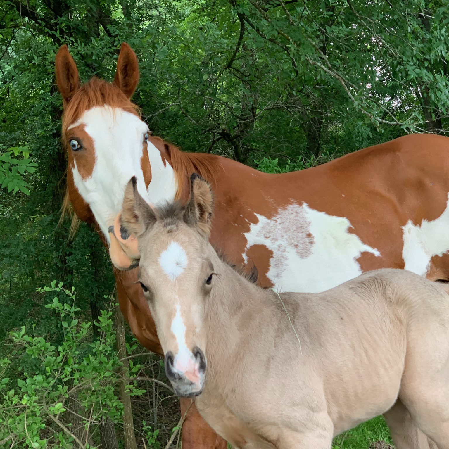 Austin dude ranch offers photo shoots for horse and rider, engagement photos and more!  Pictured here is a photo favorite, Annie Up and her baby, Chi